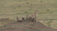 Cheetah female with babies sit on the lookout on grass plains. Stock Footage