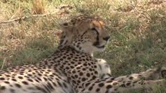 Cheetah resting under bush in the heat of the day. Stock Footage