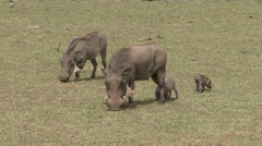 Common Warthog family forage on grass plains of Masai Mara - stock footage