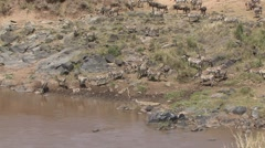 Common Zebra herd drinking water from river Stock Footage