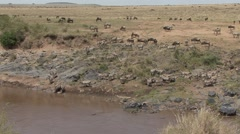 Common Zebra herd drinking water from river 2 Stock Footage