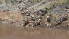 Common Zebra herd drinking water from river. Stock Footage