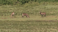Defassa Waterbuck females feeding on grass plains of Aberdare Stock Footage