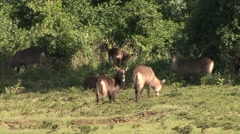 Defassa Waterbuck herd feeding on grass plains of Aberdare. Stock Footage