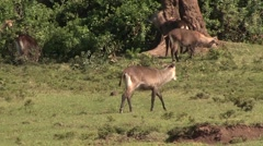 Defassa Waterbuck herd feeding with Cape Buffalos on grass plains of Aberdare Stock Footage
