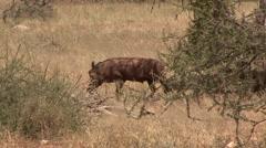 Desert Warthog family running in bush in Samburu. Stock Footage