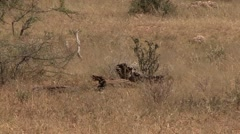 Desert Warthog family running in bush in Samburu. Stock Footage