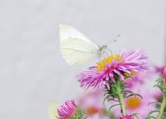 White butterfy and pink asters - stock photo
