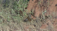 Dwarf Mongoose family in bush in front of termit mound Stock Footage