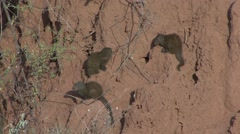 Dwarf Mongoose family on termit mound 2 Stock Footage