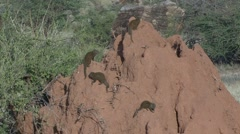 Dwarf Mongoose family on termit mound 5 Stock Footage