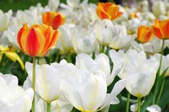 Orange tulip among many white flowers Stock Photos