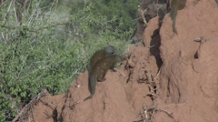 Dwarf Mongoose family on termit mound 8 Stock Footage