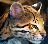 Close up of a wild cat, South Africa Stock Photos