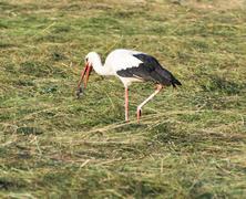 Stork with its Prey - stock photo