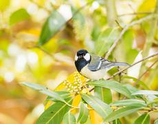 Great Tit bird sitting on a tree branch - stock photo
