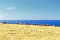 Sheep in a field, Kangaroo Island, Australia Stock Photos