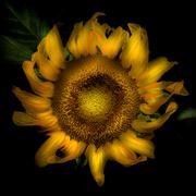 Close up of a sunflower head Stock Photos