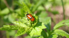 Ladybird on a leaflet. Stock Footage