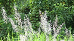 Kans grass (Saccharum spontaneum) moving freely in autumn air Stock Footage