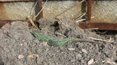 Green lizard. Stock Footage