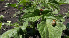 Colorado bug on potato leaves. Stock Footage
