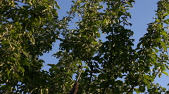 Pest control on an apple-tree. Stock Footage