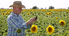 Farmer Man Touch Pad Sunflower Crop Culture Harvest Agronomy Industry Research  Stock Footage