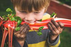 Boy with dirt on his hands eating swiss chard fresh vegetable from the garden Stock Photos