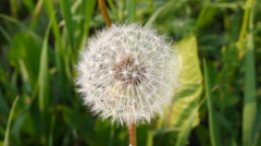Dandelion on a green field. - stock footage