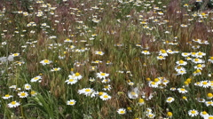 Field, flowers, camomiles. Stock Footage