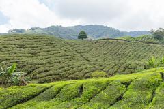 Tea Plantation, Cameron Highlands, Pahang, Malaysia - stock photo