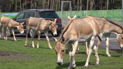 Onager donkeys feeded by tourists with car animal park Stock Footage