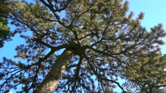 pine tree cypress tree,altitude elevation angle,beijing - stock footage