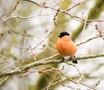Male Eurasian Bullfinch - stock photo