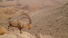 Wild mountain goat in the desert Stock Footage