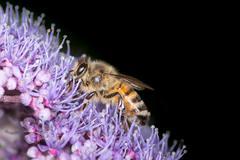 Honeybee Collecting Pollen - stock photo