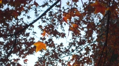 Red orange yellow leaves in autumn beijing Stock Footage