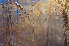 Stock Photo of frozen plants in meadow with backlight in wintertime