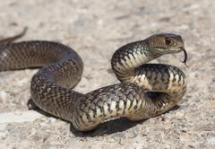 Eastern brown snake flicking tongue (Pseudonaja textilis) - stock photo
