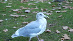 Close up of sea gull running on the ground Stock Footage