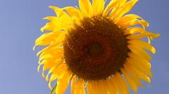 Yellow sunflower in garden Stock Footage