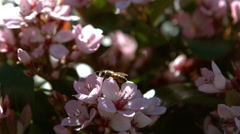 Bee flying around the flower Stock Footage