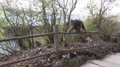 View of a monkeys in emei mountain Stock Footage