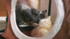 Two kittens playing in a kitty house when one's claw gets stuck on the mesh Stock Footage