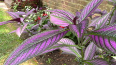 The Purple Leaves of a Persian Shield Stock Footage