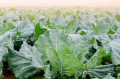 Cabbage field at Phu Thap Boek, Phetchabun, Thailand Stock Photos