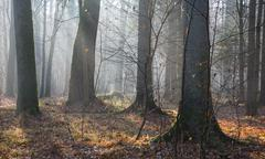Autumnal morning in the forest with mist and alder trees,Bialowieza Forest,Po Stock Photos