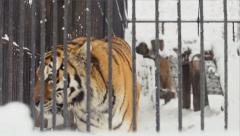 Amur tiger walks into cage in a zoo in a winter - stock footage