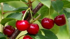 sour cherries - stock footage